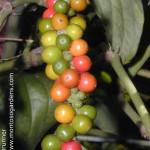 Black Pepper Growing